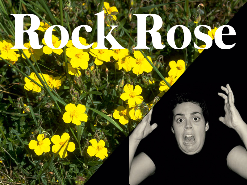 rockrose flores de bach terapia floral evolutiva luis jimenez